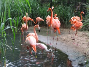 Barranquilla_Zoológico_Flamencos